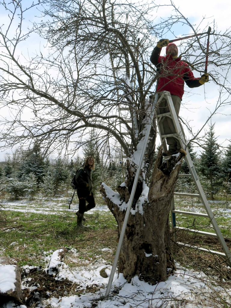 Mike Biltonen leads a restorative pruning workshop via his orchard consulting business Know Your Roots at a remnant orchard on Podunk Road in Tompkins County. Even extremely old trees can be given another leg of life through the art of pruning.